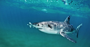 Juvenile great white shark